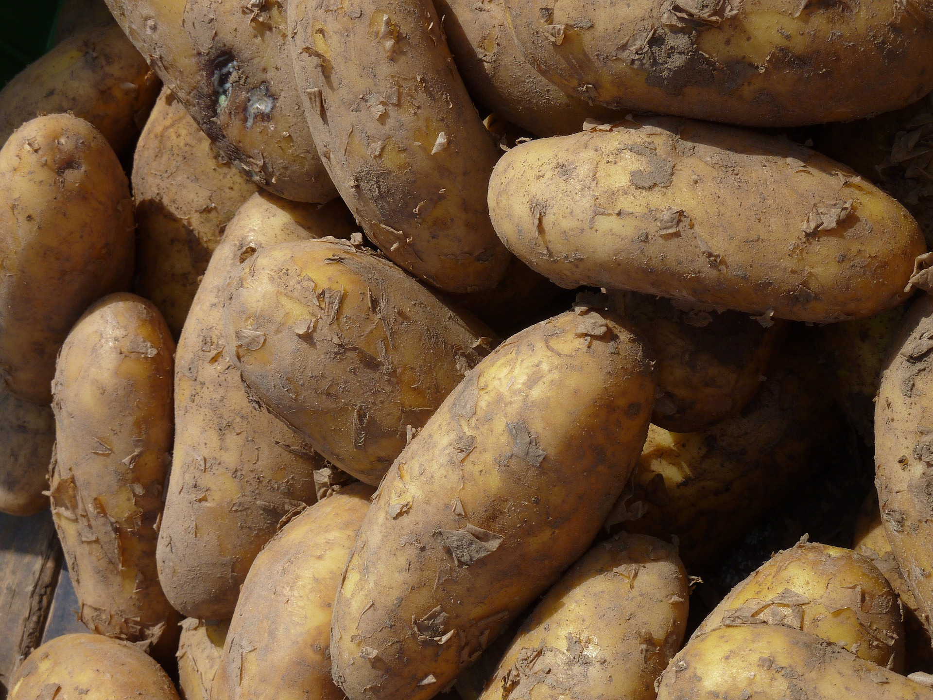 Burbank is famously known for his development of the Russet-Burbank potato.